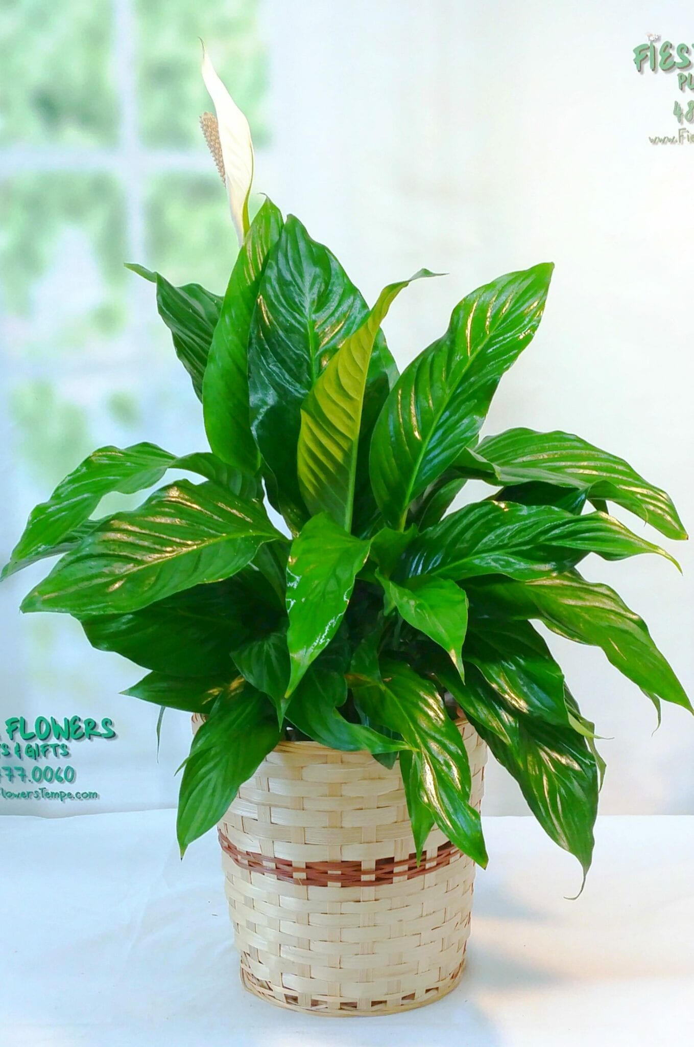 Peace Lily Spathiphyllum 8""