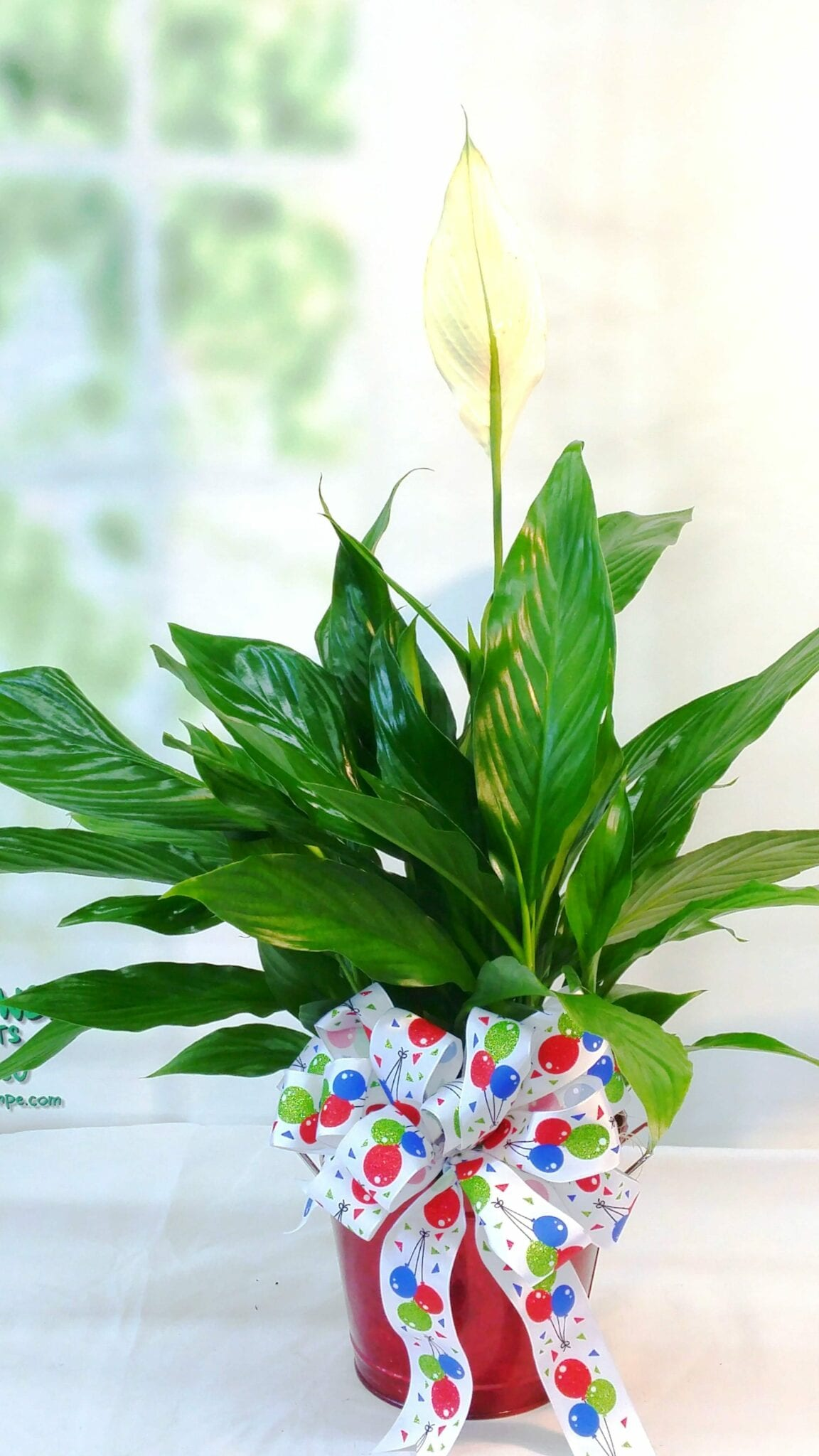 SAME DAY DELIVERY Birthday Spathiphyllum Fiesta Flowers Plants & Gifts