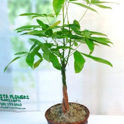 Pachira Money Tree Plant