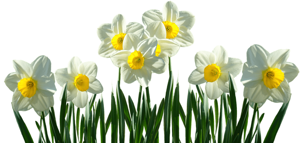 Daffodils In March Signs Of Life After Winter Fiesta Flowers